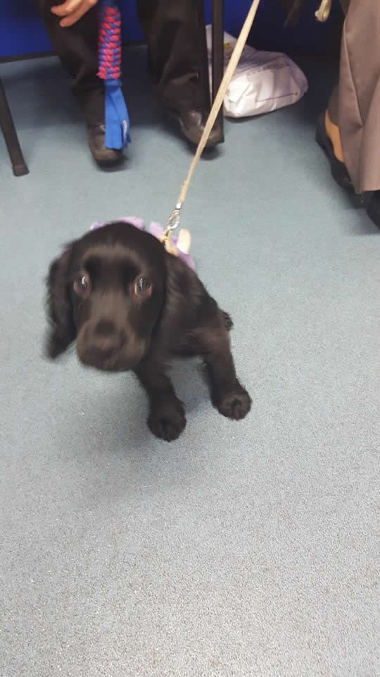 Very sweet cocker spaniel puppy at puppy club Long Eaton