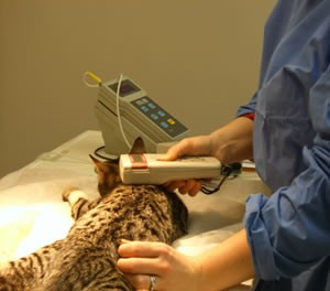 Beautiful bengal cat aneasthetised and being checked for microcip with reader at Bramcote Surgery Derby