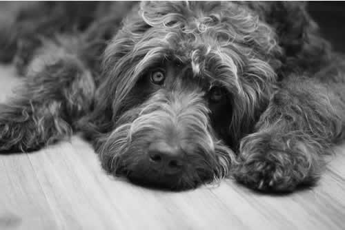 black and white image sad dog