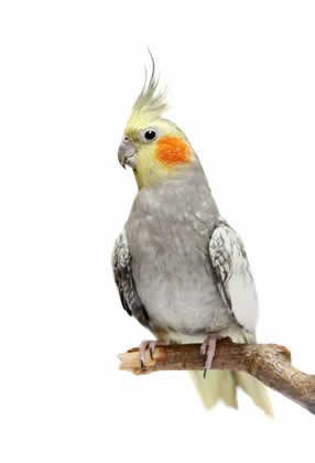 Cockatiel on perch