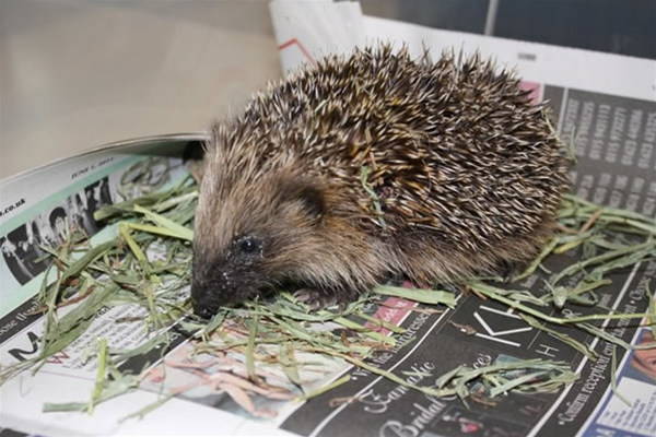 Hedgehog in Ashfield House Vets Long Eaton kennels eating grass