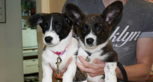 2 puppies with huge ears at reception desk at Ashfield House Vets Long Eaton