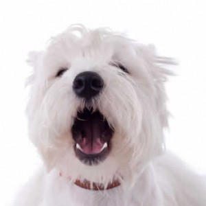 Barking Westie dog