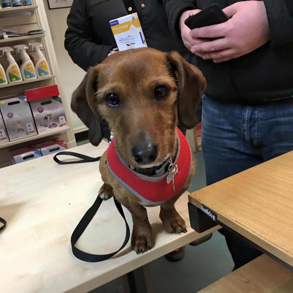 Sweet dog on consulting room table wearing red halter and owner buying flea products at Ashfield House Vets