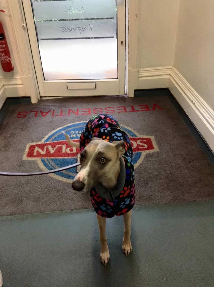 Whippet with colourful coat on in entrance of Ashfield House Vets