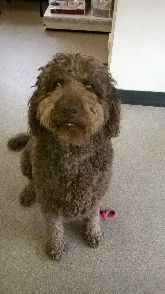 Brown fluffy sweet Poodle called Fudge at Byron Vets