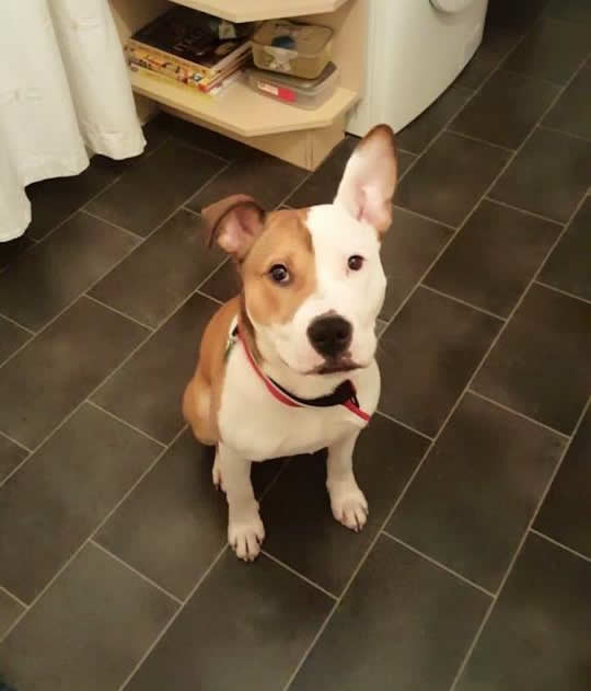 Sweet dog called Milo with 1 ear up and other ear flapped down