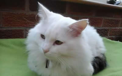 White Cats and Deafness