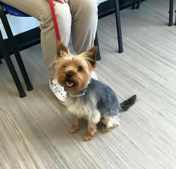 Bella the Yorkie visiting Ashfield House Vets in Long Eaton
