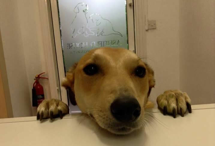 Caramac - gorgeous greyhound at reception desk at Ashfield House Vets wanting a biscuit!