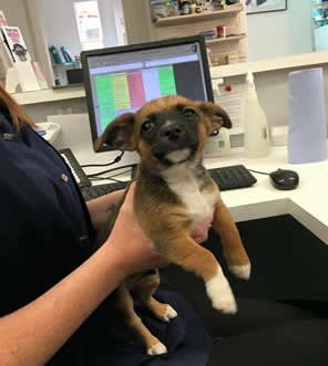 Ronnie the puppy in for vaccinations at Ashfield House Vets in Long Eaton