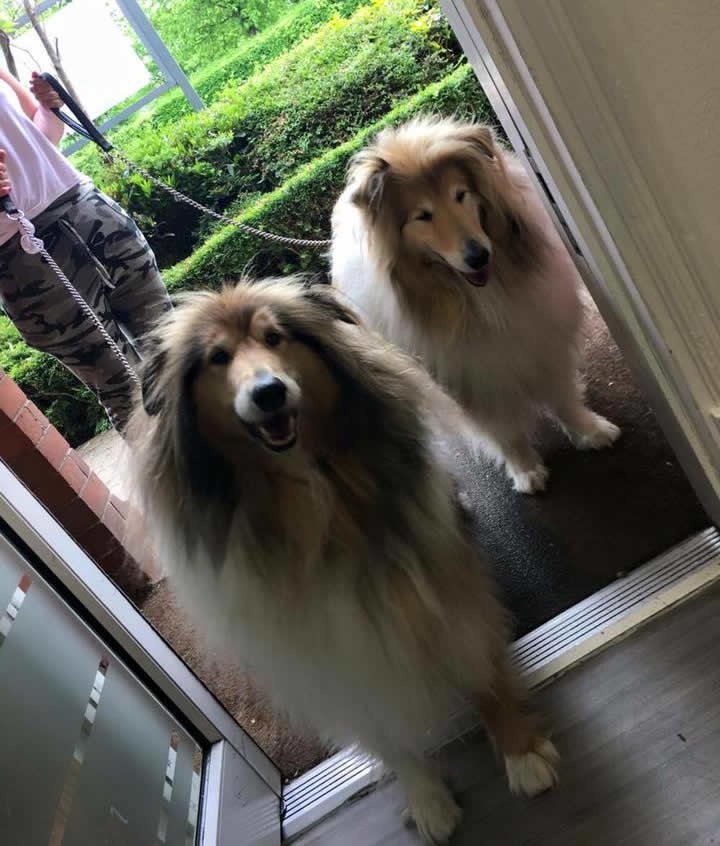 Sonnie and Sky - Rough Collies visiting Ashfield House Vets in Long Eaton