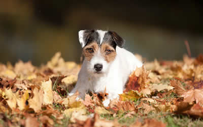 Jack russell in autumn leaves