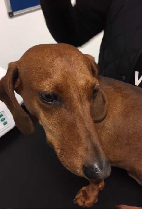 Daschund with crusting lesions on nose all healed and treated for Leishmania at ashfield house vets in Long Eaton
