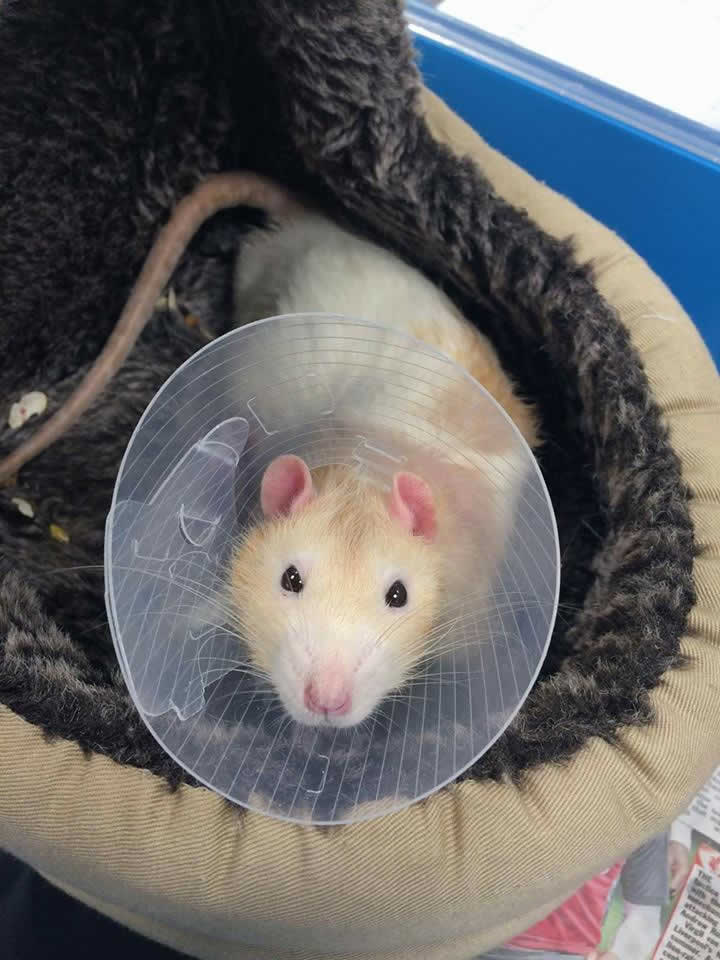 rat in tiny collar at Ashfield House Vets