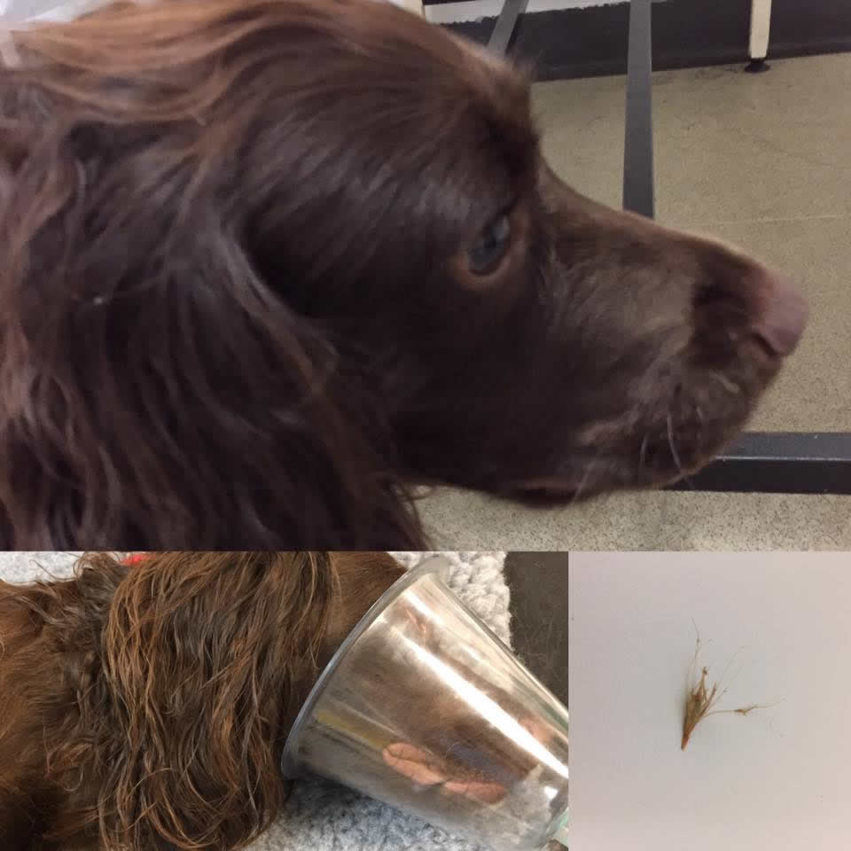 dog at Ashfield House hospital had grass seed removed from ear under sedation