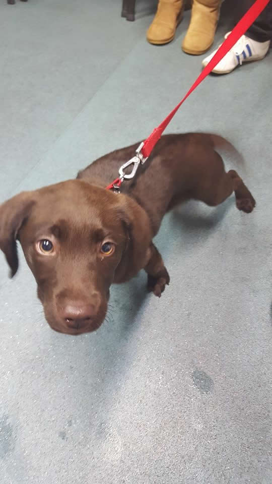 Very sweet chocolate brown labrador puppy at puppy club Long Eaton pulling on lead