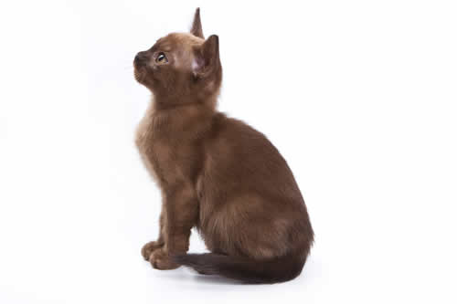 Sweet Burmese kitten looking up