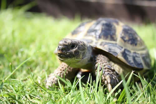 Tortoise on grass Ashfield House Vets Long Eaton