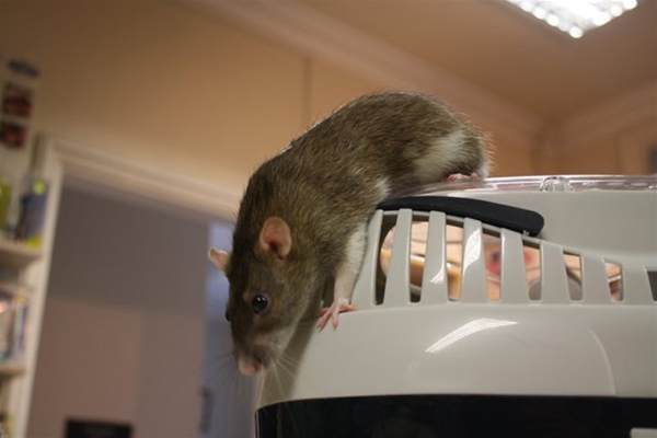Rat climbing out of carrier on consulting room table at Ashfield House Vets