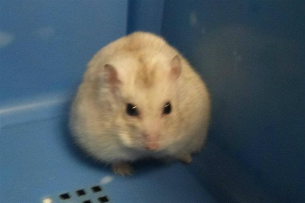 Hamster with round cheeks in carrier in consulting room