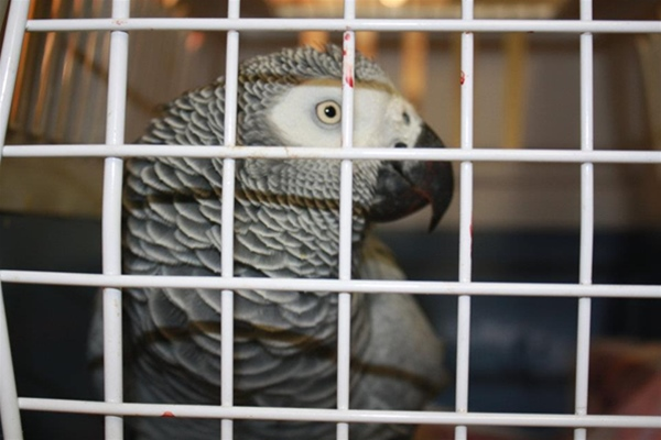 African Grey parrot in carrier coming in for idchip at Ashfield House Vets