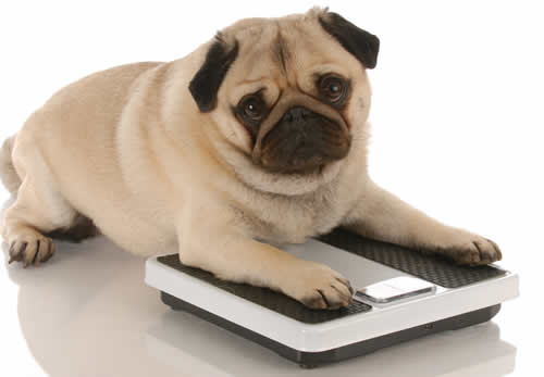 Fat pug on scales