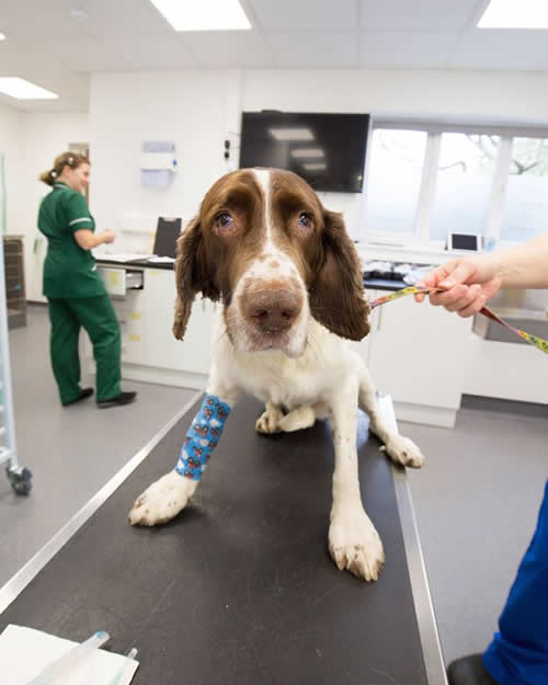 Dog on consulting table in new Prep Room at New Ashfield House hospital