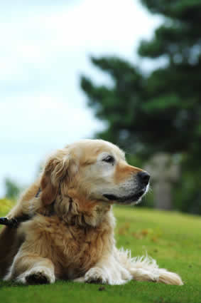 Old golden retriever dog