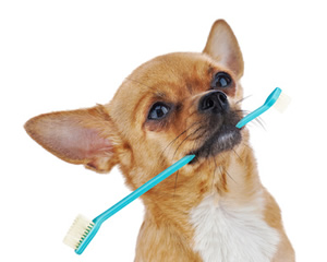 Chihuahua holding blue toothbrush in mouth