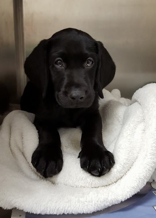 Sweet Labrador puppy Sherlock in kennels at Long Eaton Ashfield House Veterinary Hospital
