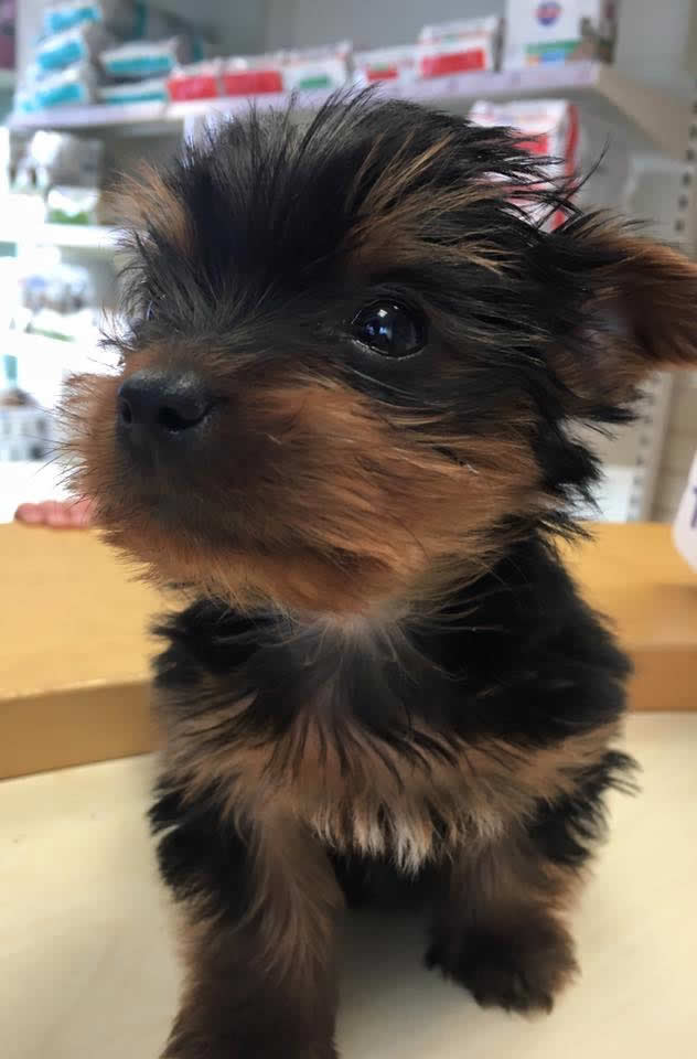 Puppy Poppy came to see us for her puppy vaccinations at the Bramcote clinic.