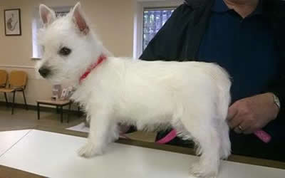 Westie Rosie standing on the counter at Byron Surgery being held by owner