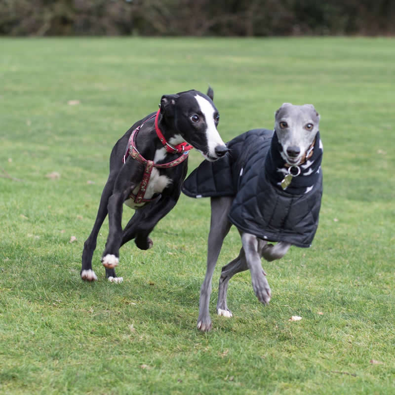 2 whippets running and playing and 1 wearing a padded grey coat