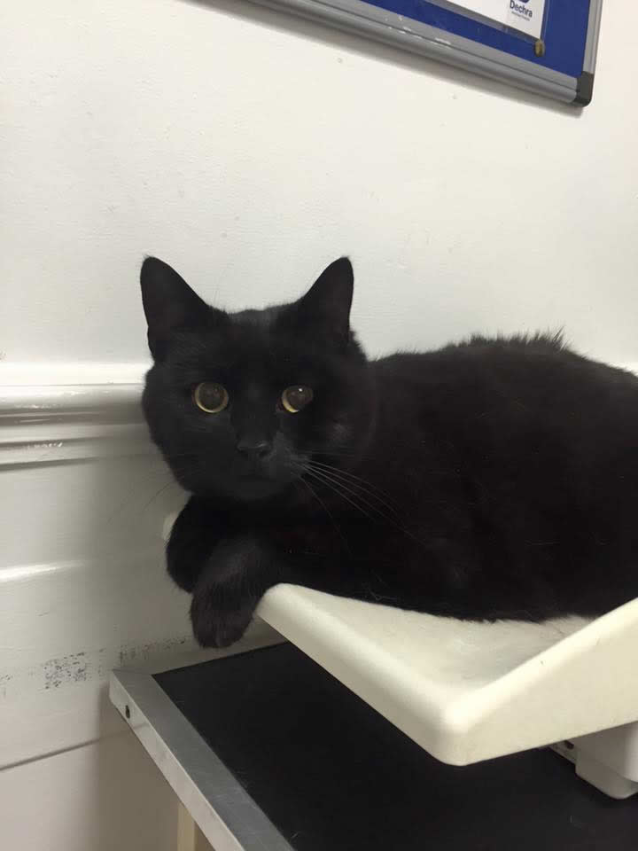 Cat Bella on consulting room table seeing vet for vaccinations at Byron Surgery