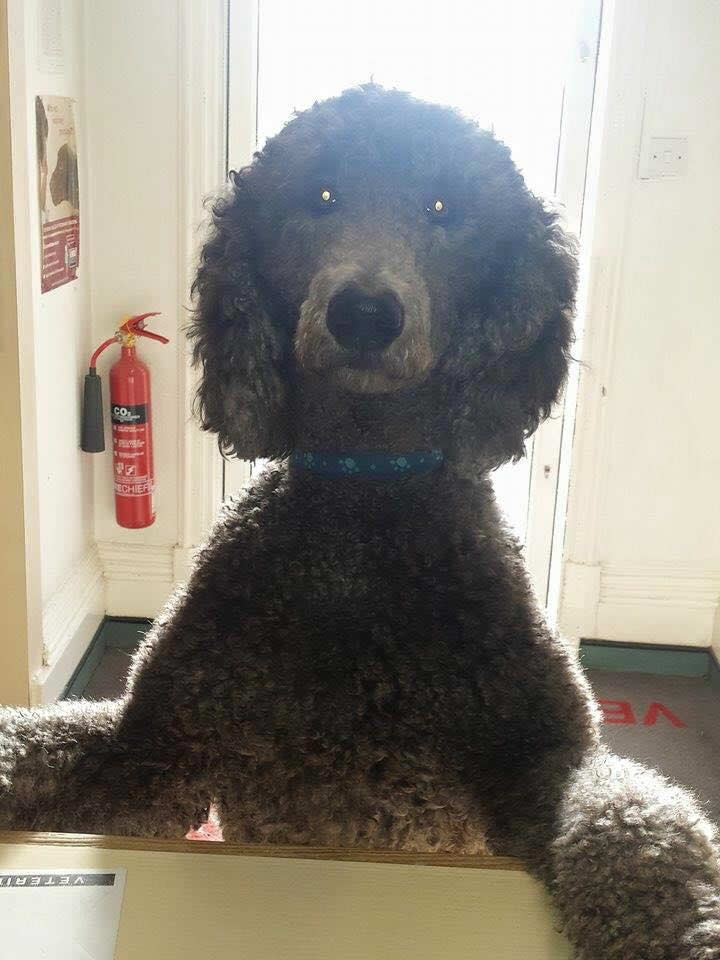 Poodle Jake jumping on counter at Long Eaton