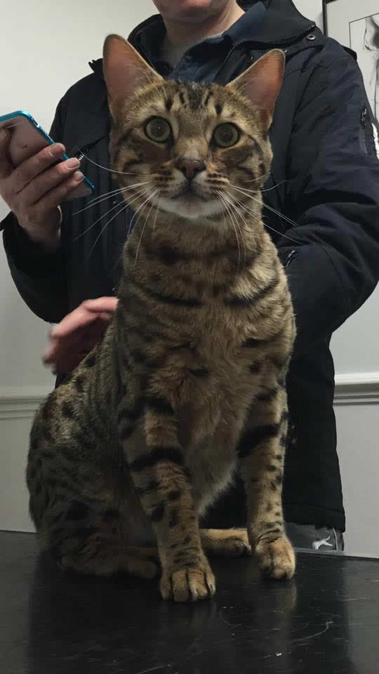 cat Dave in Ashfield House Vet Hospital on consulting table to see Ben for his vaccinations earlier today - he's a Bengal X Savannah and very beautiful!