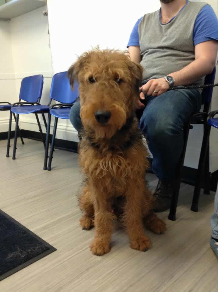 Airedale Terrier Jasper visiting Ashfield House Vet Hospital for a post-operative check up