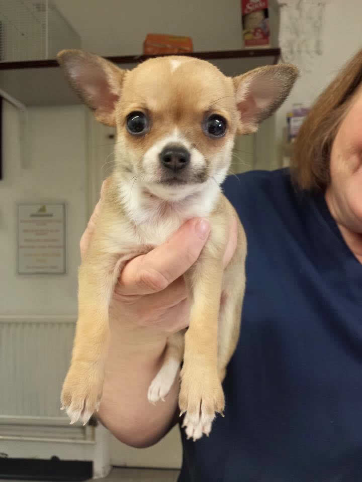 Gorgeous puppy Chihuahua at Long Eaton practice