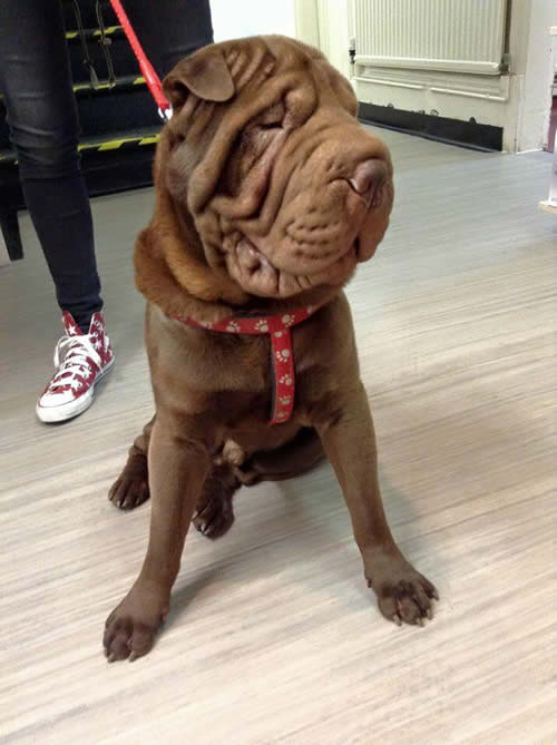 Shar pei Todd at Ashfield House Vet Hospital with red halter and red lead