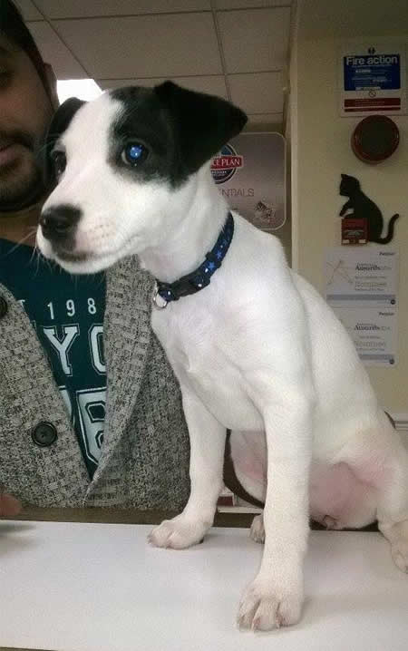 Jack Russell Zena on counter at Byron Vets Nottingham