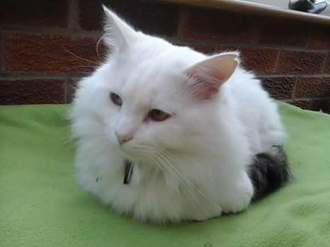Beautiful white cat Harold with 1 green and one yellow eye