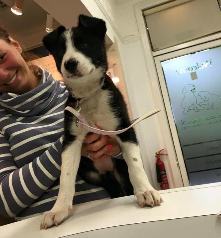 Milly - a Puppy on the reception counter at Ashfield House Vets in Long Eaton