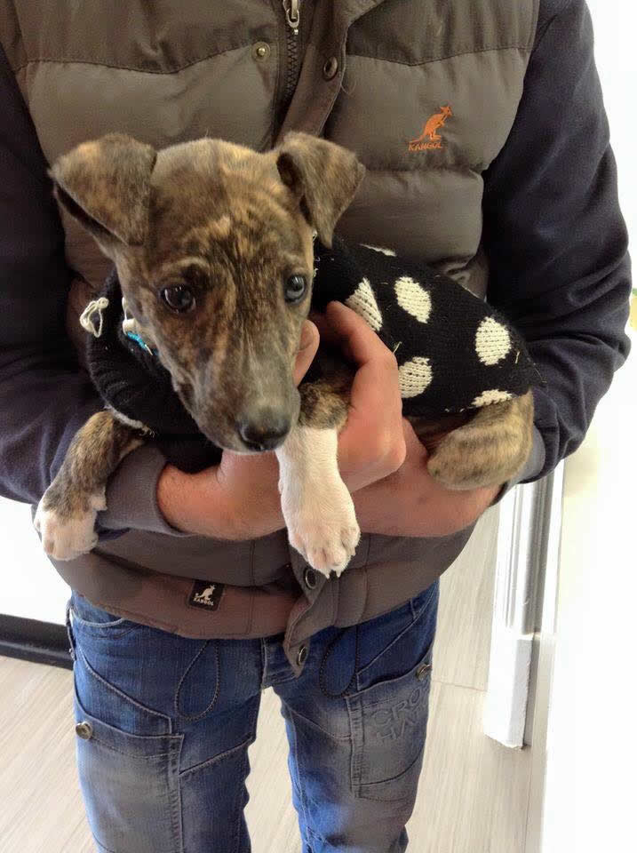 Sox the puppy in his coat visiting Ashfield House Vets in Long Eaton