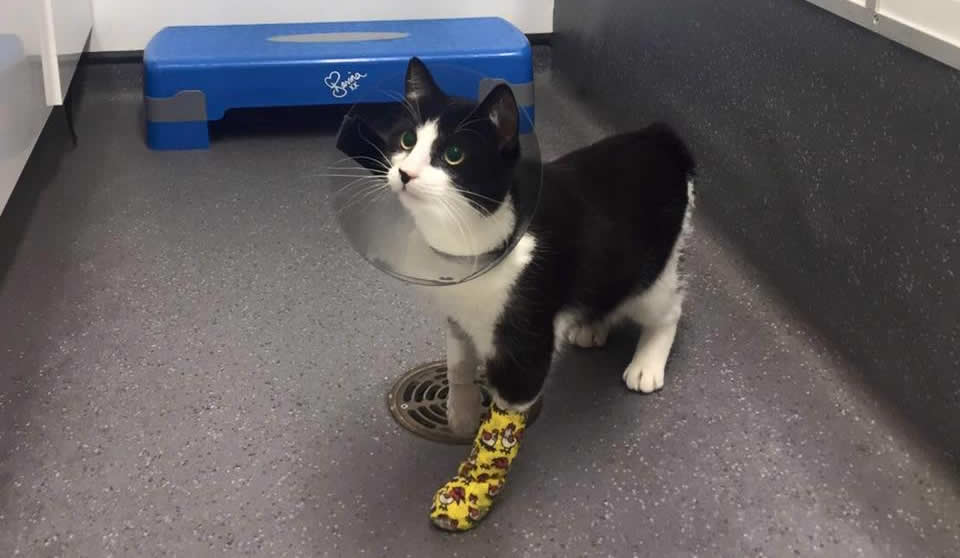 Cat Will in Ashfield House Vet Hospital with yellow bandage