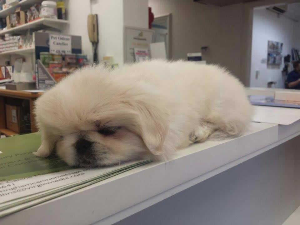 Pup asleep on reception counter at  Ashfield Vets