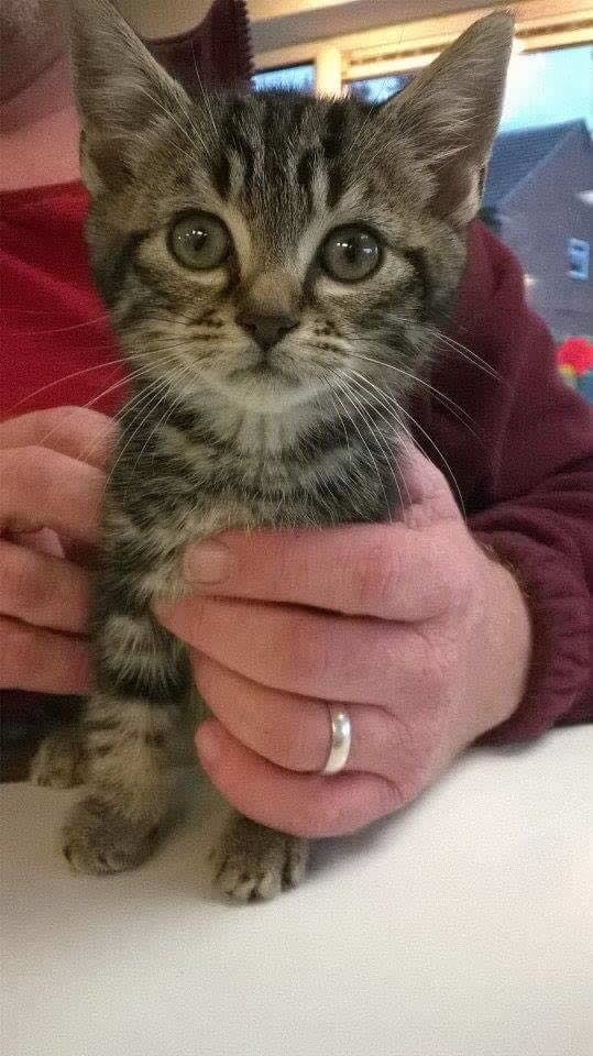 Gorgeous kitten Tiggy visits Byron Clinic