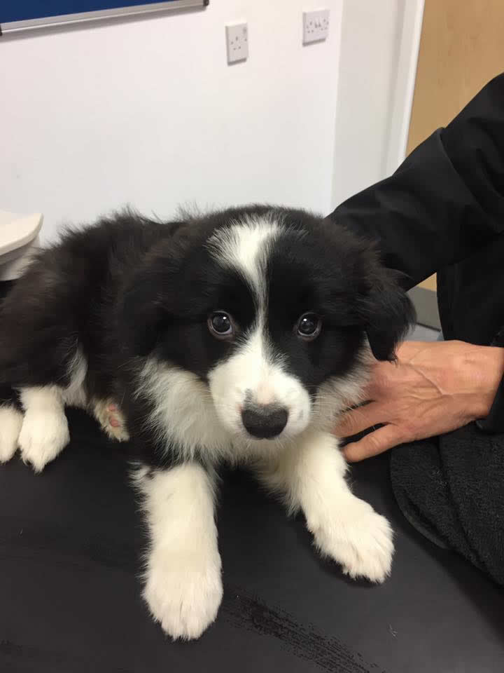 Border Collie puppy Nell in for vaccinations at Long Eaton Ashfield House Vets