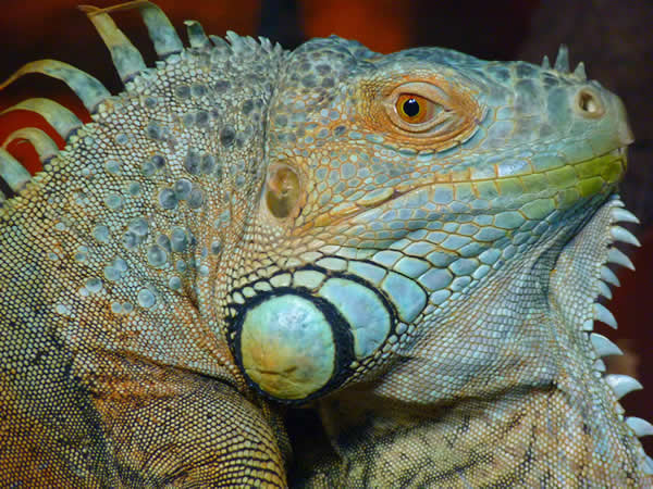 Iguana at ashfield house vets Long Eaton