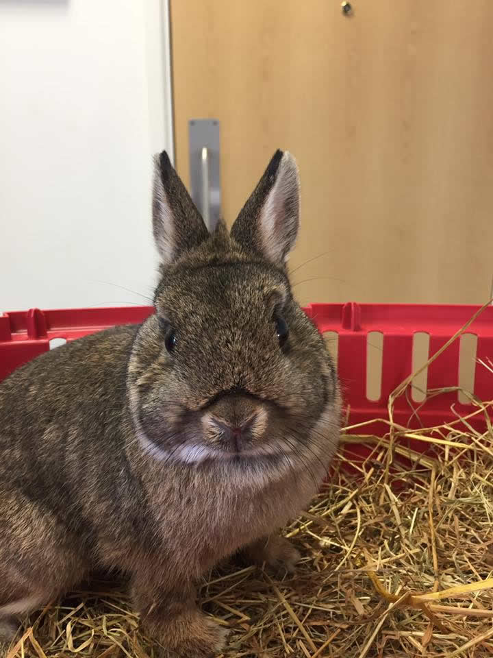 rabbit at Ashfield House Vets after a spay operation